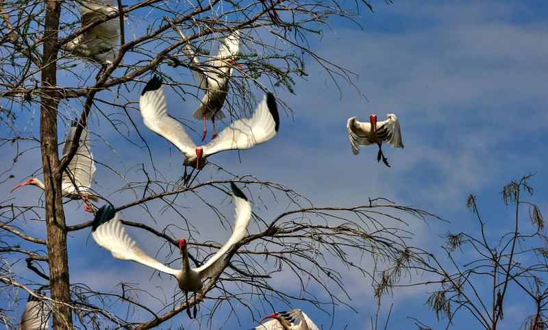 24  Ibis in flight, Big Cypress National Preserve, Florida