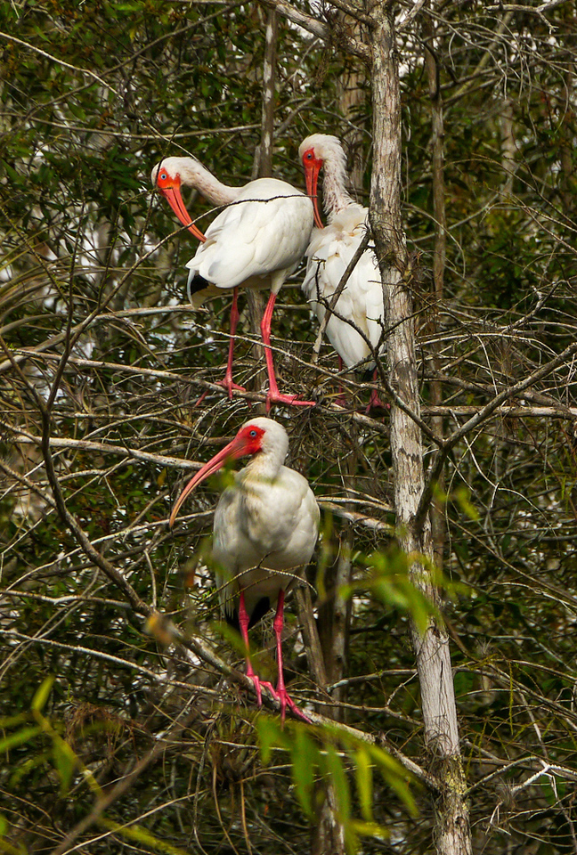 23  White Ibis colony, Big Cypress National Preserve, Florida,