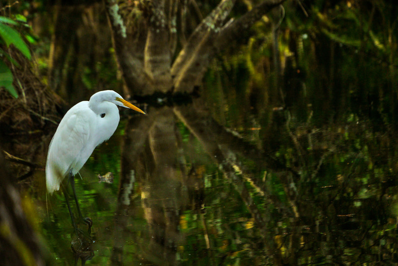 22  Great White Heron, Big Cypress National Preserve, Florida