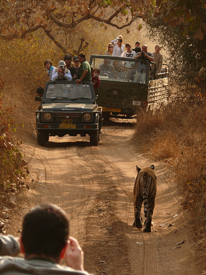Taking the right of way, Ranthambore