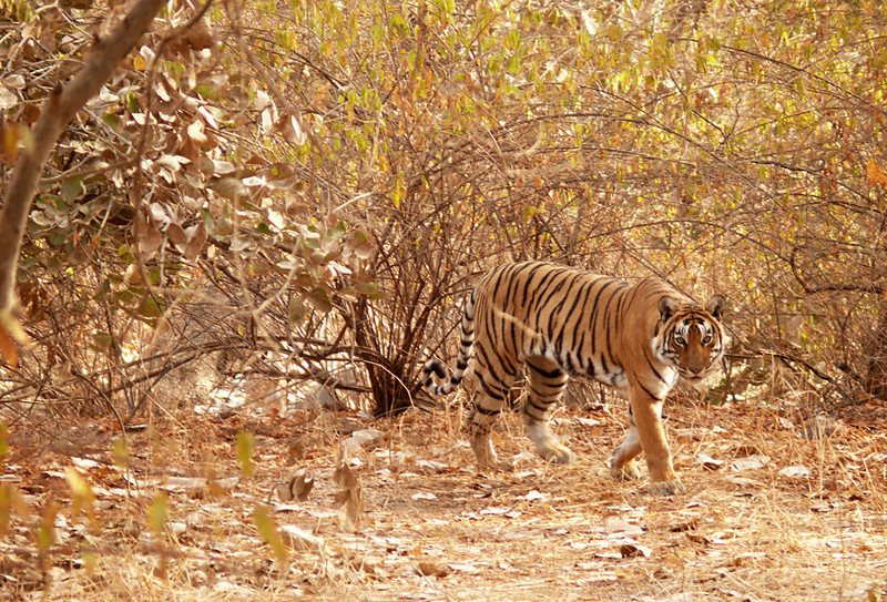 Tiger on the hunt, Ranthambore