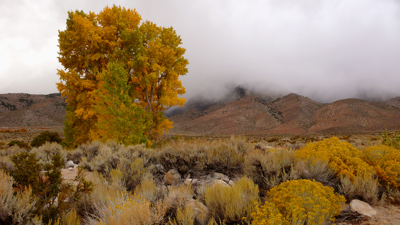 Oncoming storm, Independence, California - A tree bearing its fall colors faces a storm rolling in from Onion Canyon.