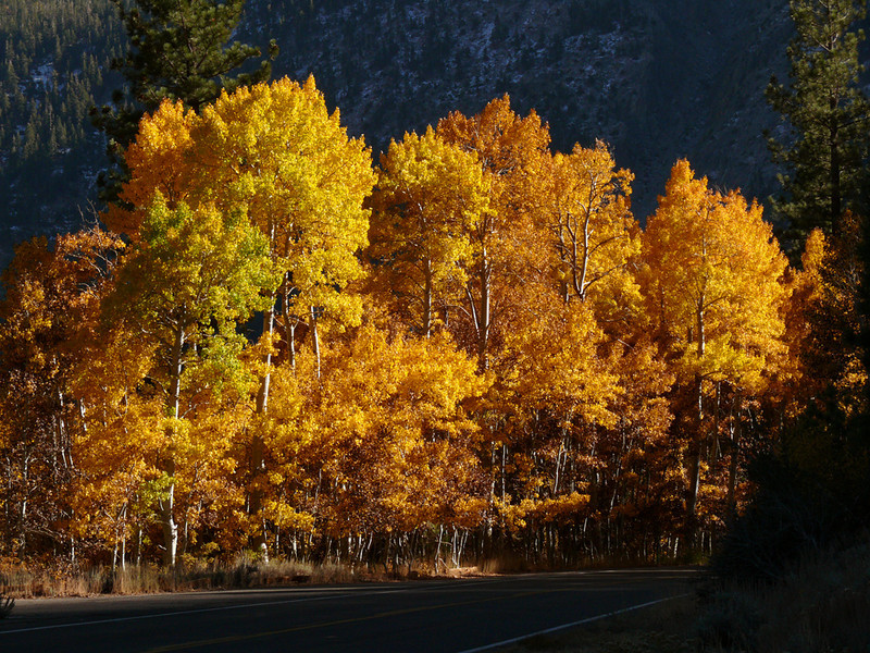 Autumn colors, June Lake - The Aspens of the Sierra are ablaze in color every fall.