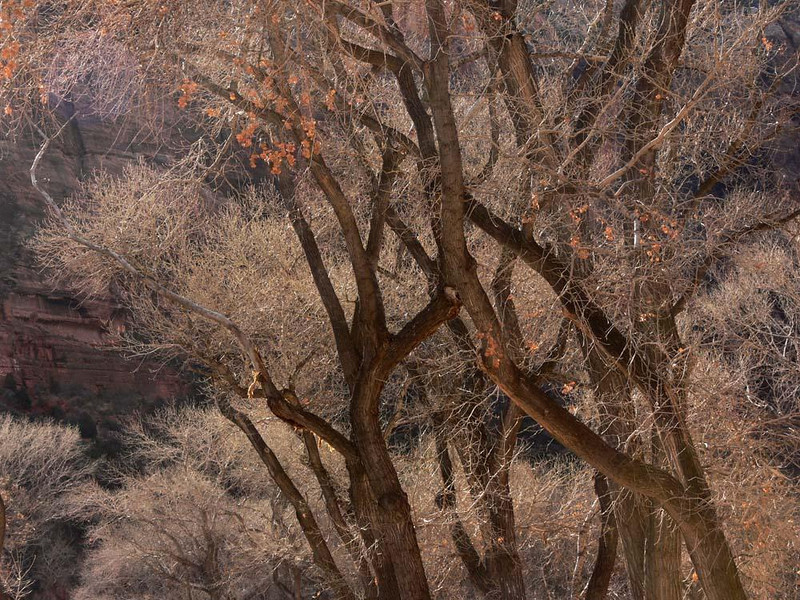 Coppery Cottonwoods - The Cottonwood trees that cover the Valley of Zion Canyon show the light of the morning sun reflecting off the nearby sandstone cliffs.