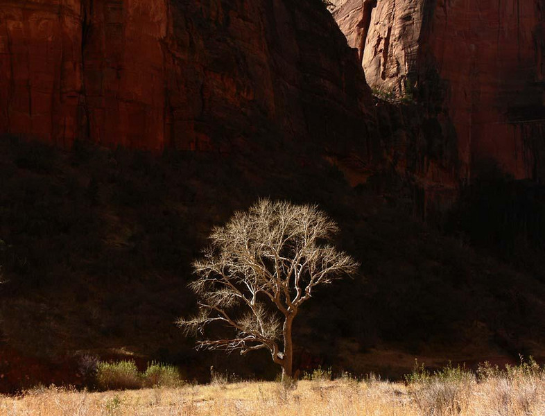 Isolated Cottonwood, Zion Canyon - The lone tree gives a sense of scale to the huge cliffs that line the valley of Zion Canyon.