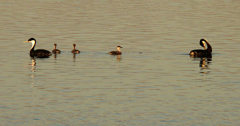 Grebe family, Tule Lake