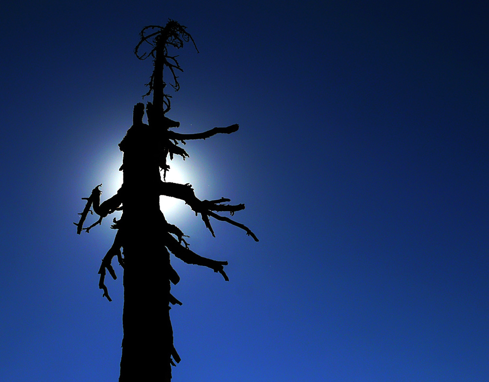Scorched tree, Lassen Volcanic National Park, CA