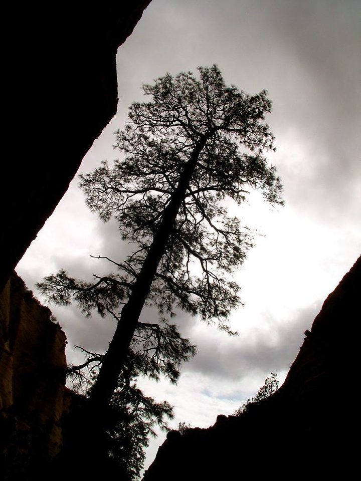 Box Canyon, Tent Rocks Nat. Monument - Dark clouds move in, and this towering tree seems trapped within the brooding confines of Tent Rock's narrow box canyon.