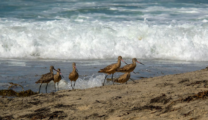 89  Flock of Marbeled Godwits, Imperial Beach, CA