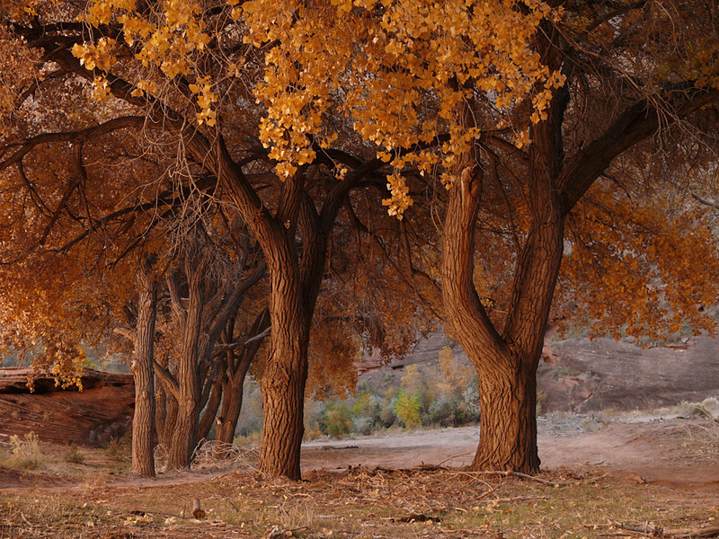 Red autumn in Canyon de Chelly - Hundreds of cottonwood trees flourish on the floor of Canyon de Chelly. As the evening draws near, the lowering light coming out of the west bounces off the canyon's eastern wall, changing all within to reddish gold.