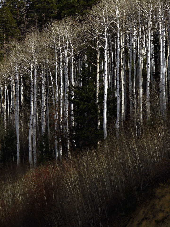 Stand of Aspen, Lukachukai, Arizona - We not only traveled through deserts and canyons -- we had a chance to drive though mountain scenery as well. This stand of Aspen drew our attention while on the road through Northern Arizona towards New Mexico and then Colorado.