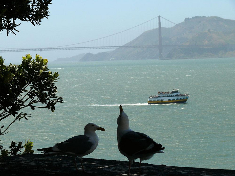 Courtship at Golden Gate, San Francisco - I made this image on Alcatraz Island. This pair of Western Gulls, part of a huge colony, were engaged in a courtship ritual that involved touching bills, striking poses, and making considerable noise.