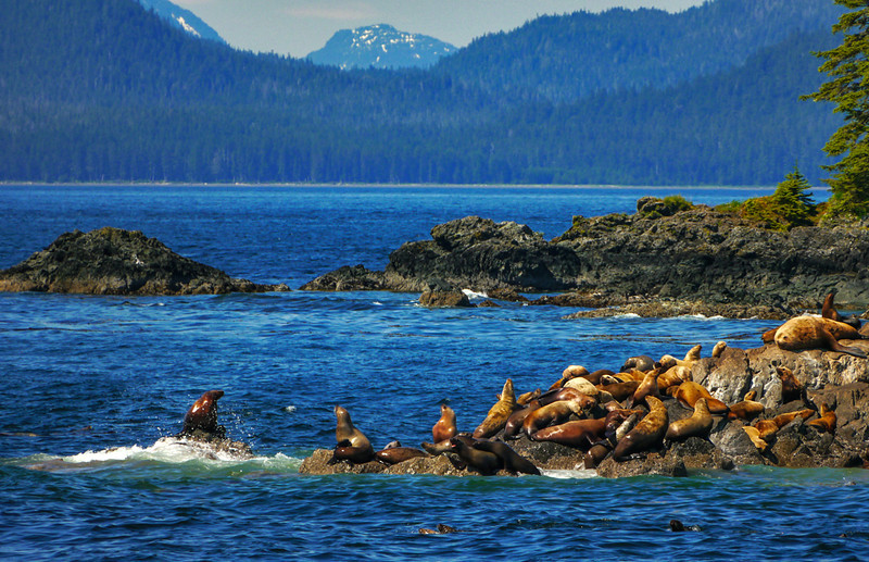 34  Stellar sea lion rookery, Brothers Islands, AK