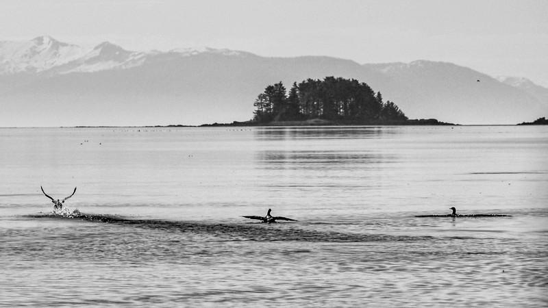 57  Ducks on Pybus Bay, AK
