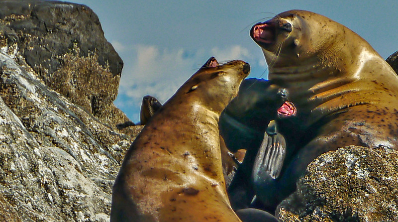 64  Trio, sea lion rookery, Brothers Island, AK