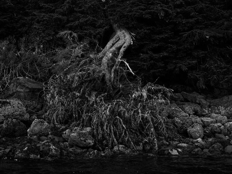 61  Uprooted, Pybus Bay, AK