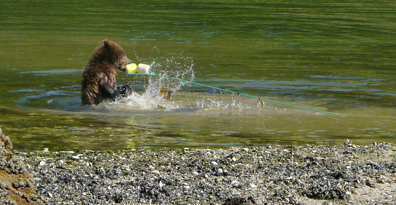 25  Cub at play, Kasnyku Hatchery, AK