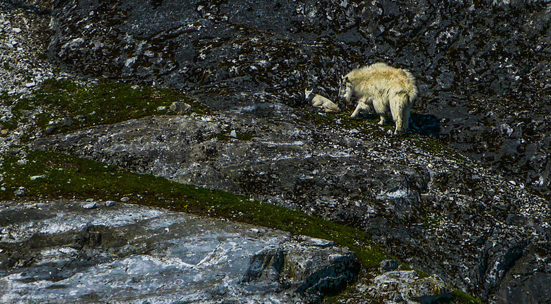 12  Mountain goats, Glacier Bay, AK