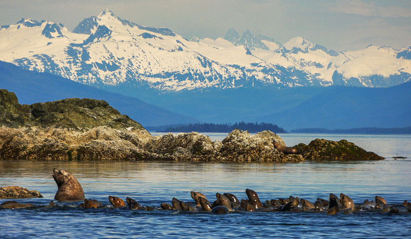 66  Followers, Sea Lion Rookery, Brothers Island, AK