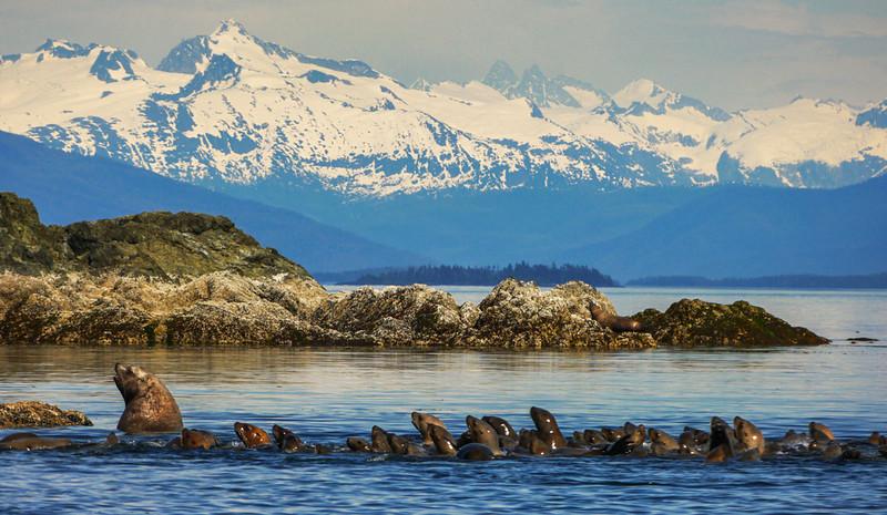 66  Followers, Sea Lion Rookery, Brothers Island, AK