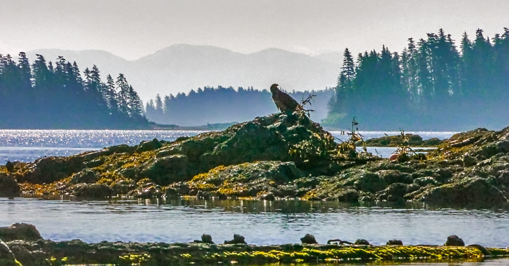 52  Bald Eagle roost, Pybus Bay, AK