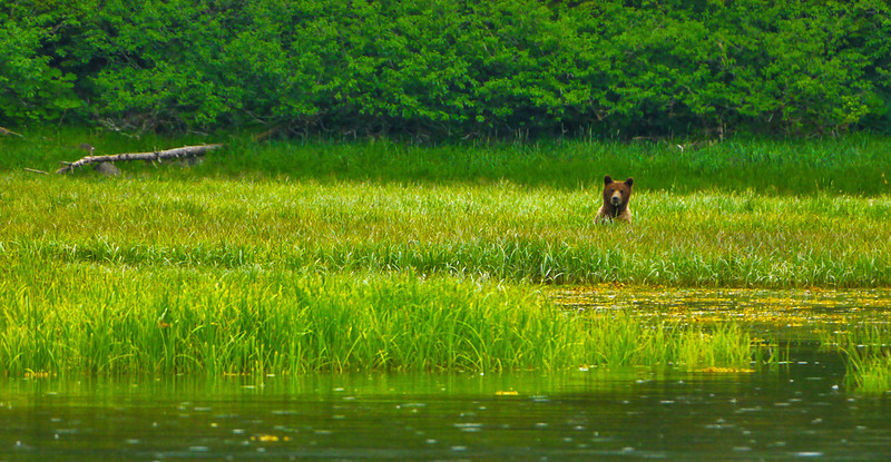 69  Brown bear, Pybus Bay, AK