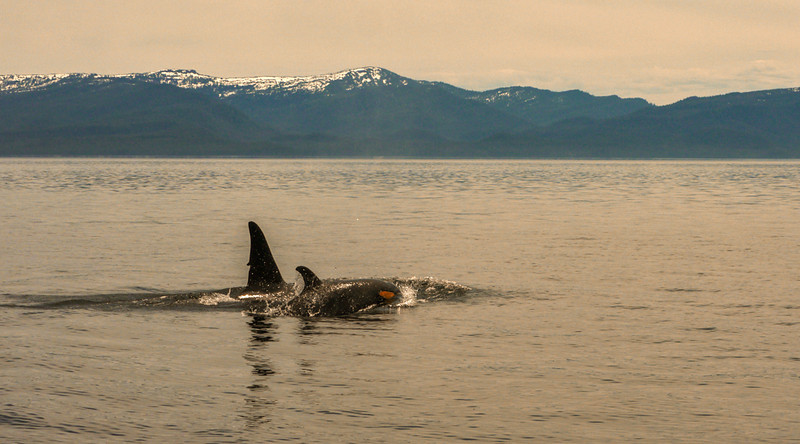 28  Orca with calf, Chicahgof Island, AK