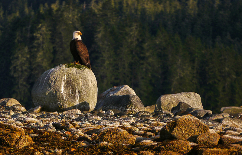 35  Bald Eagle, Wood Spit, AK