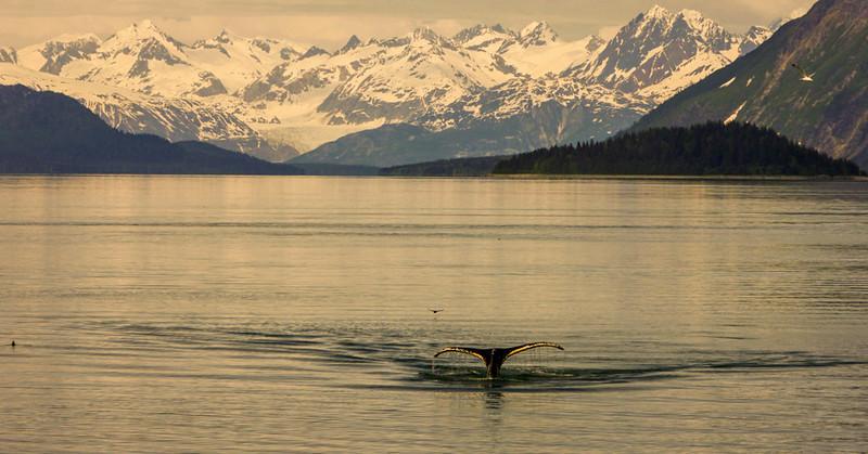 20  Flukes, Glacier Bay, AK
