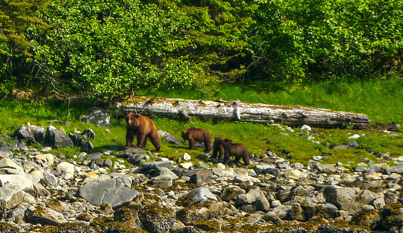 24 Brown Bear family, Kasnyku Hatchery, AK