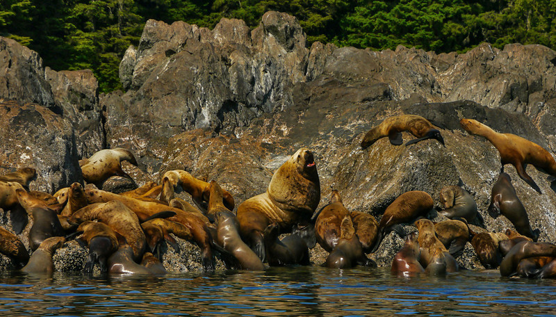65  Family portrait, sea lion rookery, Brothers Island, AK