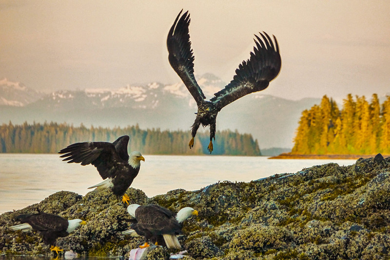 53  Bald Eagles gather to feed, Pybus Bay, AK