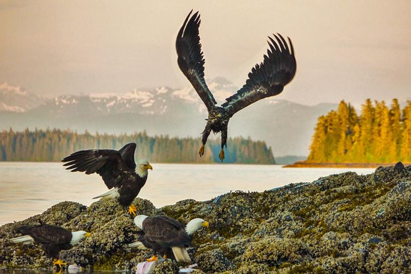 53  Bald Eagles gather to feed, Pybus Bay, AK