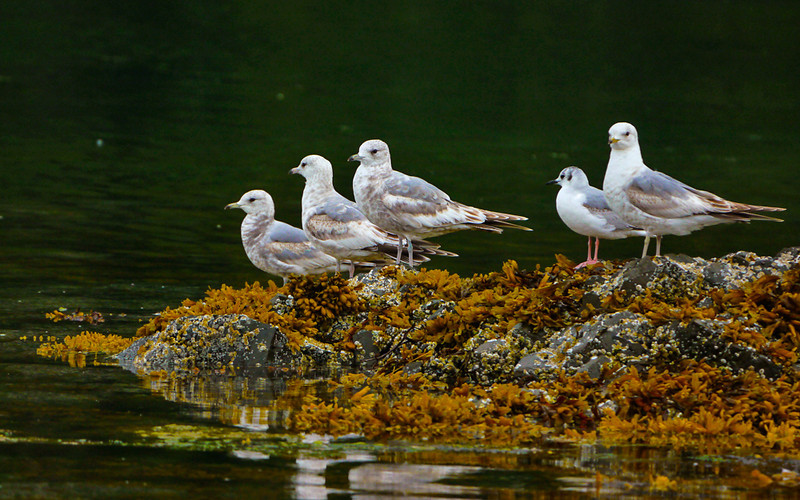 58  Waterbirds, Pybus Bay, AK