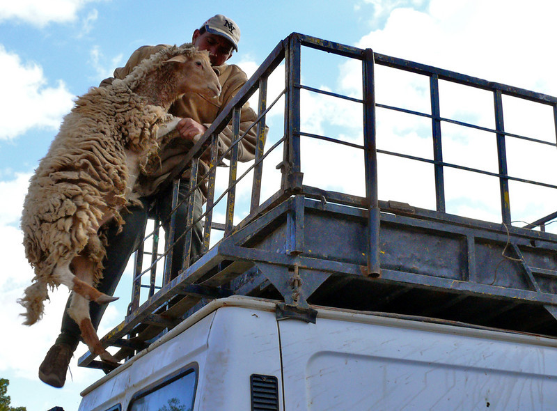 "Lifting Sheep, Tineghir - This sheep needed a boost to reach its cage on top of a Tineghir truck. The man doing the heavy lifting here wears, of all things, a ""New York"" baseball cap."