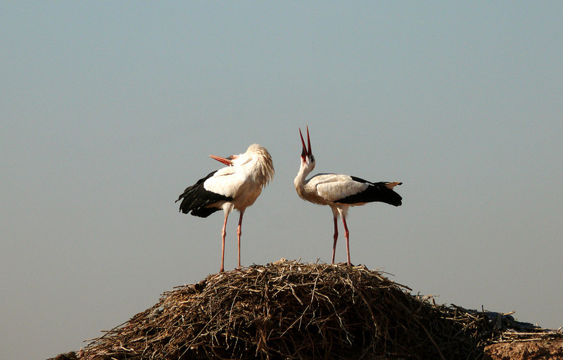 Noisy storks, Badi Palace, Marrakesh - European storks nest on the ramparts of the ancient Badi Palace. These seem to be communicating to each other. Their conversation was a loud and clattering one.