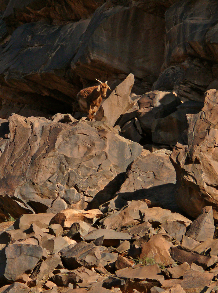 Goat, High Atlas Mountains - This goat was exploring the remnants of an ancient rock slide in the High Atlas.