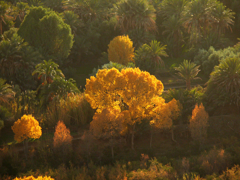 Zis Valley in winter colors, Midelt - The vivid winter colors of these golden Aspens are even more startling when seen juxtaposed against a sea of palm trees.