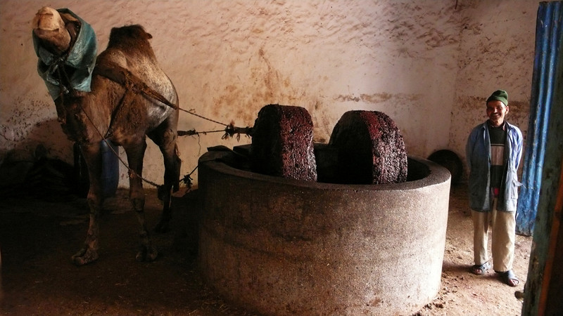 Olive Press, near Essaouira - A hooded camel walks in an endless circle, crushing the oil out of thousands of olives. The method has not changed in centuries.