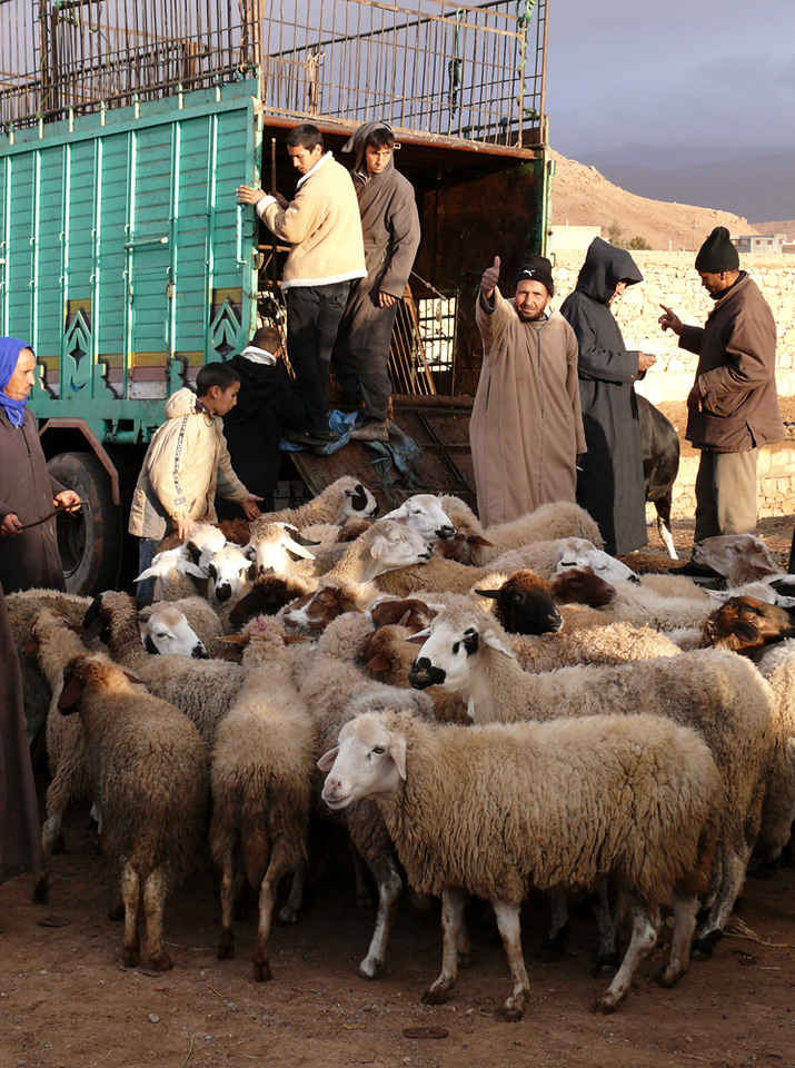 Sheep by the truckload, Tineghir - A flock of sheep looks for buyers at Tineghir's market.
