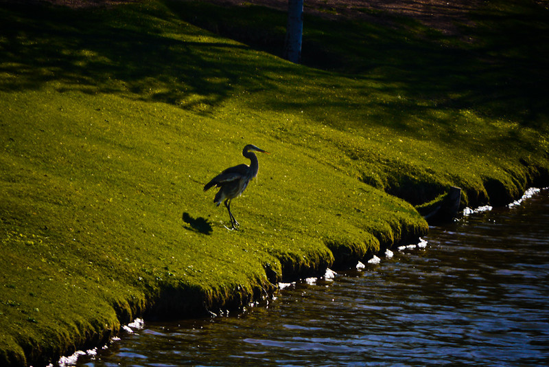 Heron, Payson, Arizona