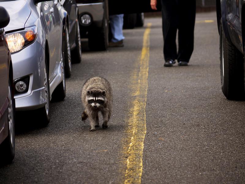 Raccoon, Port Angeles, Washington