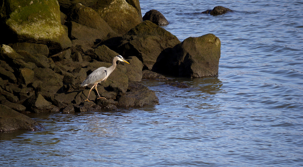 Heron, Astoria, Oregon