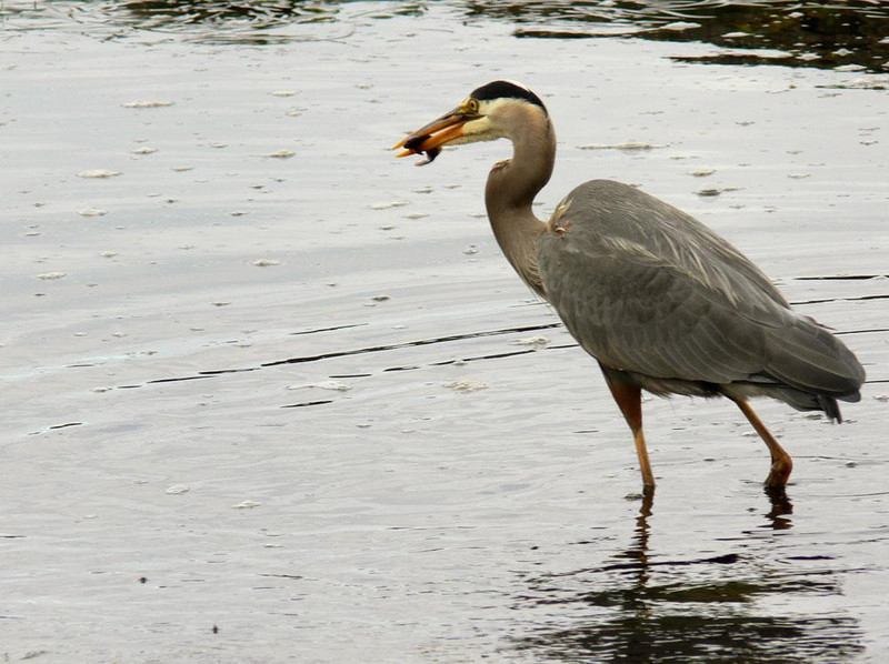 Heron's reward - A fish firmly in the beak, the heron seen in the previous images stalks away with a morning snack.