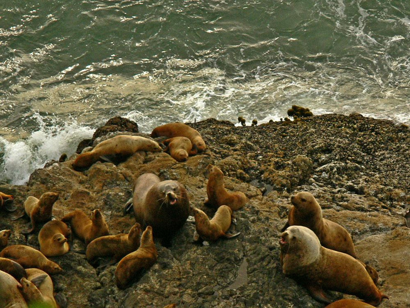 Sea Lion rookery, Cape Creek - We are looking down on a cow surrounded by nearly a dozen pups. She appears to be barking instructions. I made this photograph from the top of a bluff overlooking the rookery.