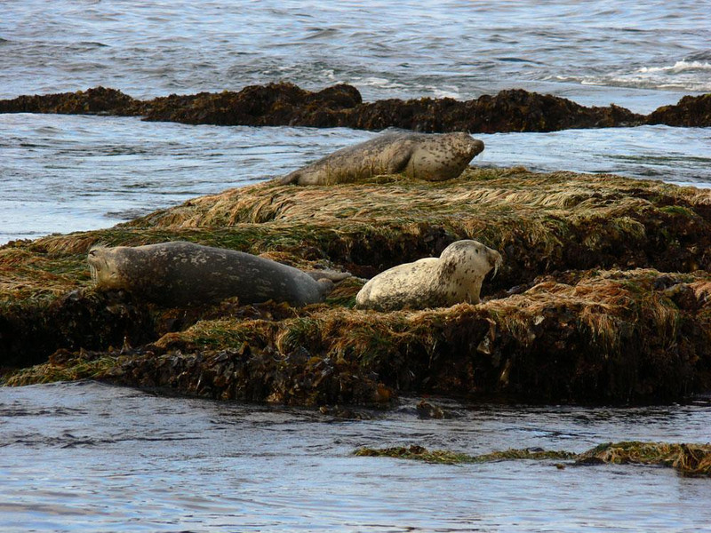 Harbor Seals, Otter Crest - This trio of resting seals, resting on the seaweed covered rocks only a few yards away from us, seemed habituated to human presence on the tidal flats near Otter Crest.
