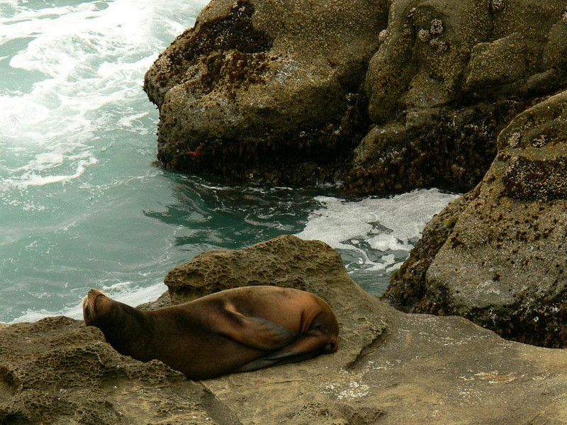 At rest on Simpson Reef - A sea lion finds its niche in the rock, a place to sleep, dream, or just relax.