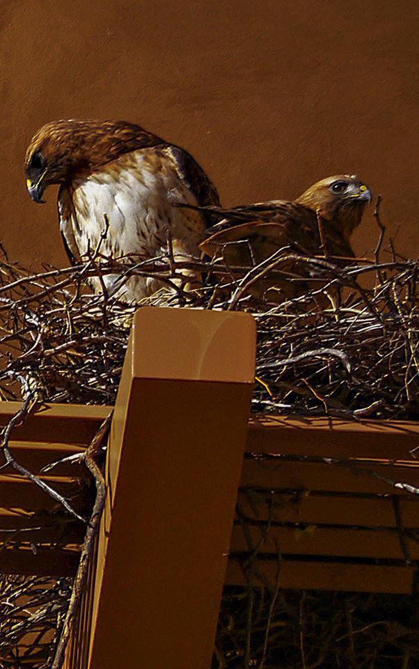 Nesting hawks