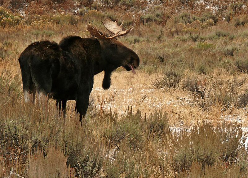 Moose breakfast, Grand Teton National Park, WY