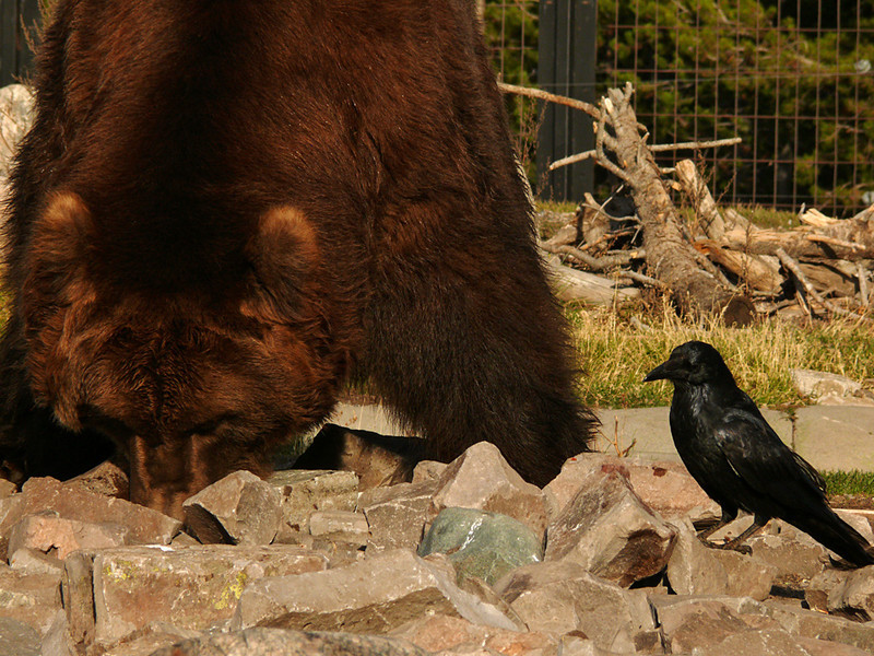 Feeding time, Grizzly Discovery Center, W  Yellowstone, MT